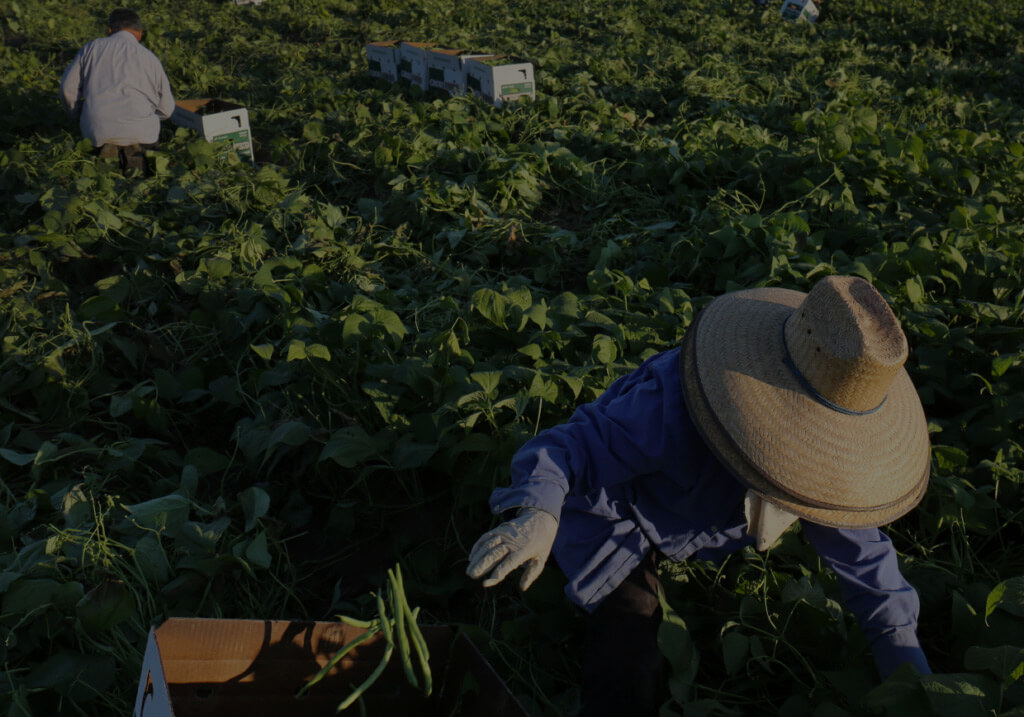 Workers picking fresh vegetables